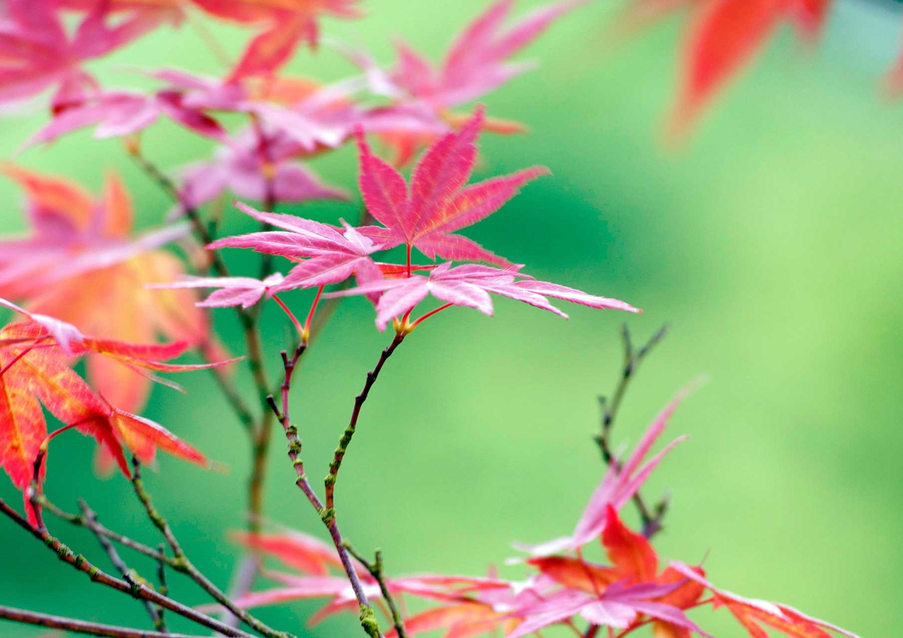 Laure-Maud_03_photographe_jardin-erable-Japon