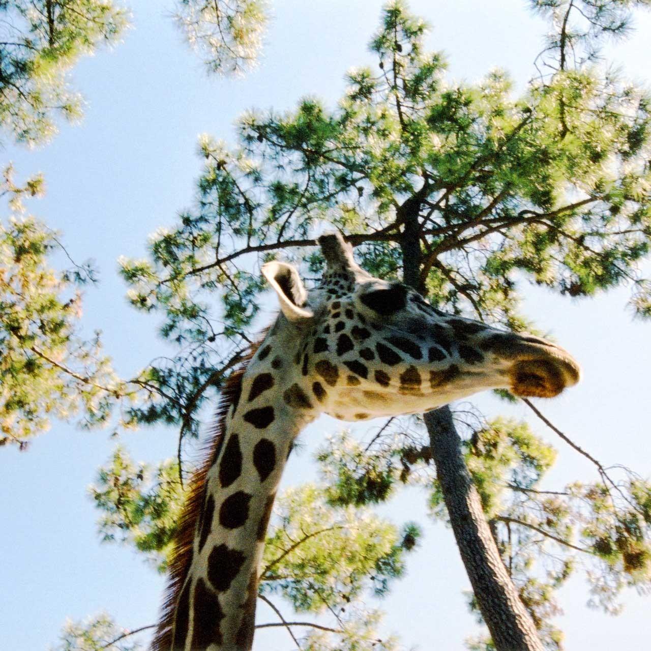 Laure-Maud_06_photographe_girafe_1