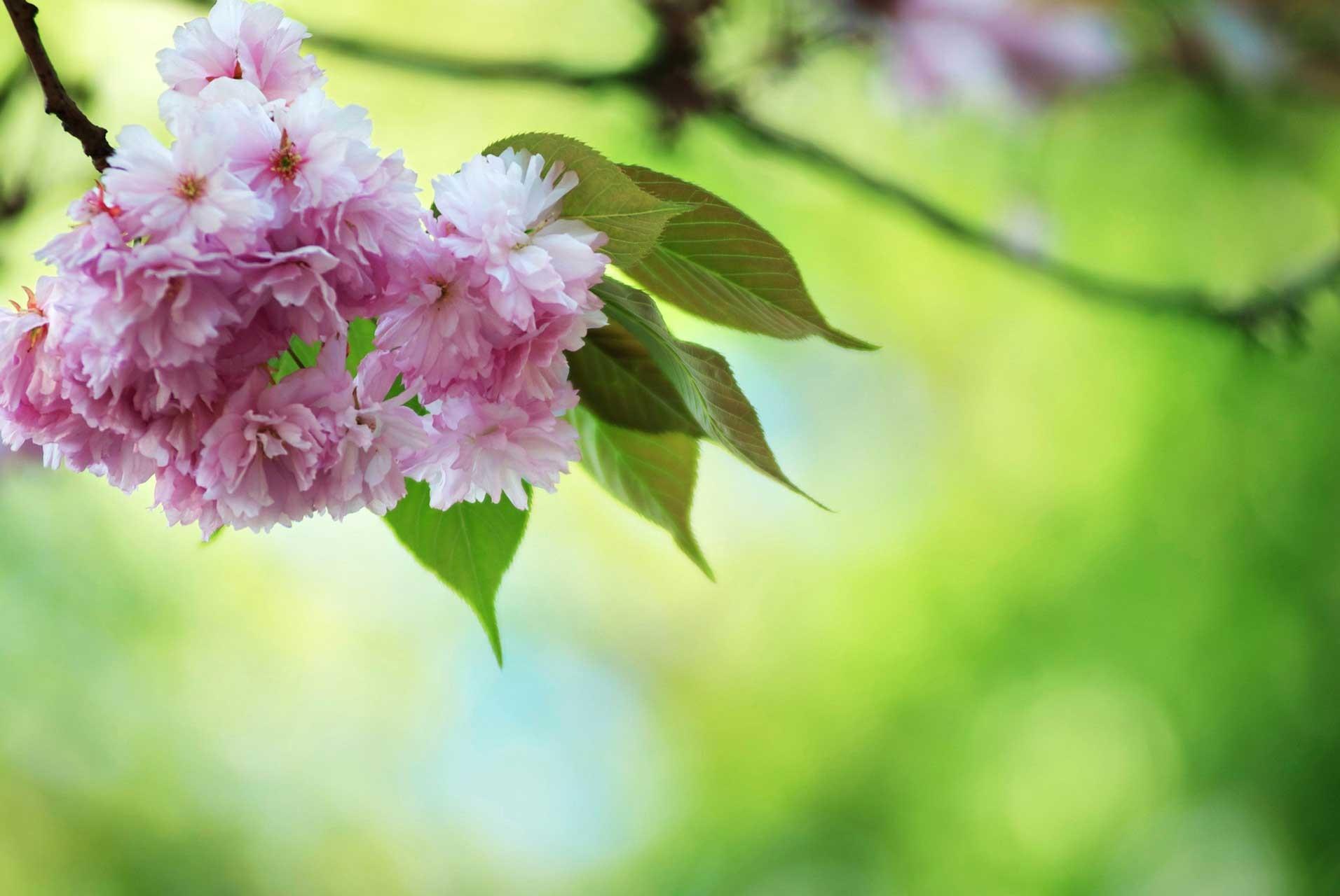 Laure-Maud_16_photographe_jardin-cerisier-japonais-2
