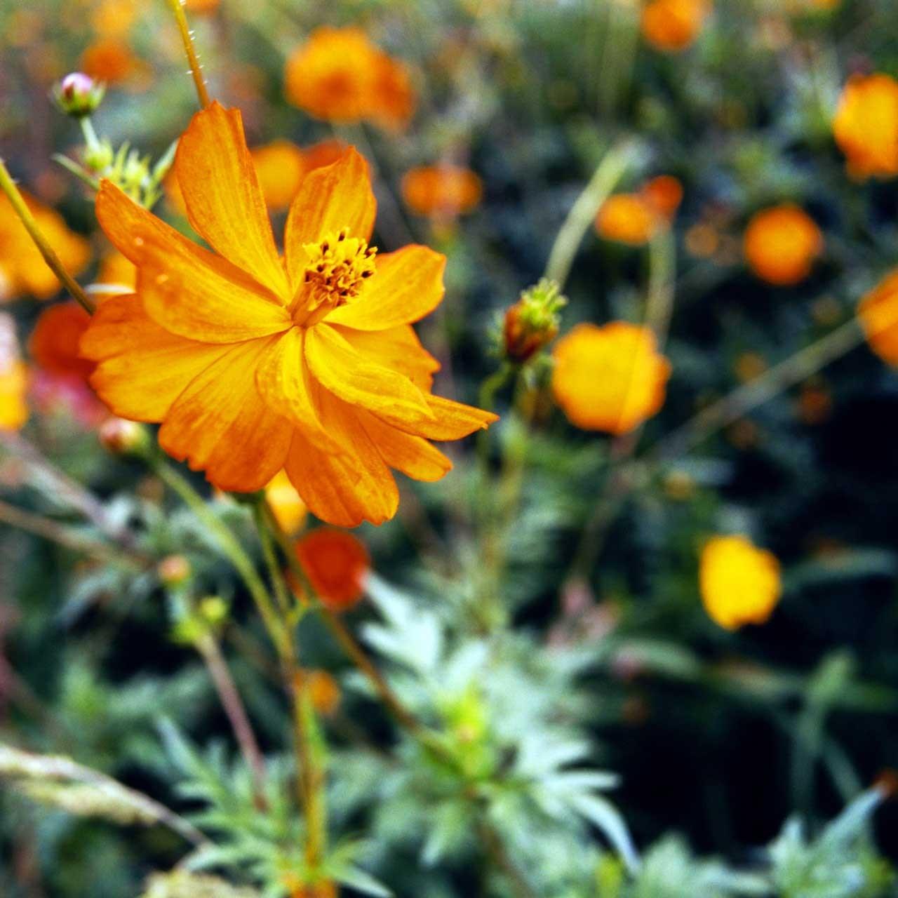 Laure-Maud_photographe_jardin-fleurs_cosmos-1
