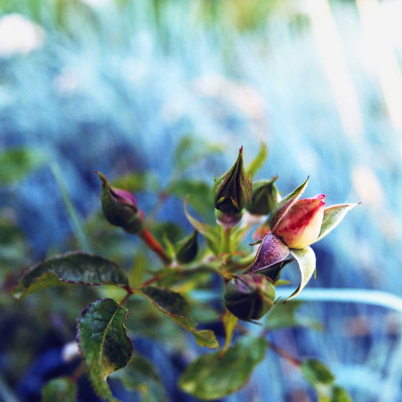 Laure-Maud_01_photographe_jardin-fleur-rose_1