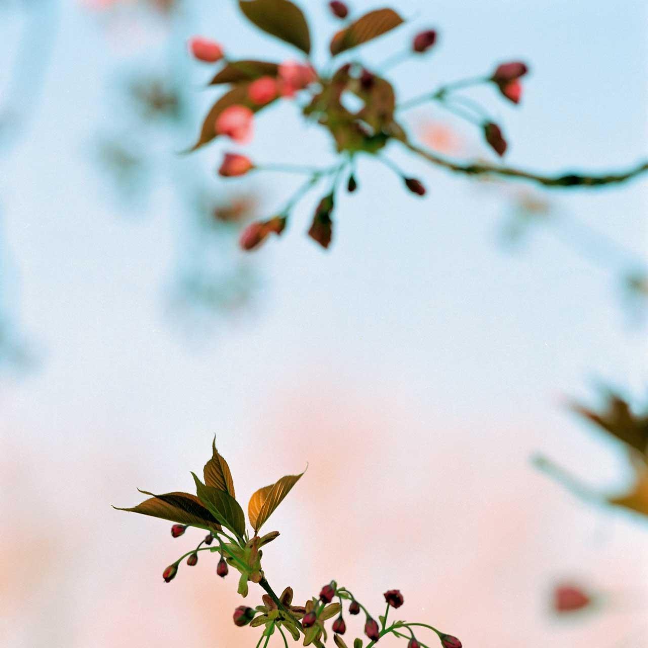 Laure-Maud_17_photographe_jardin-cerisier-japonais-1