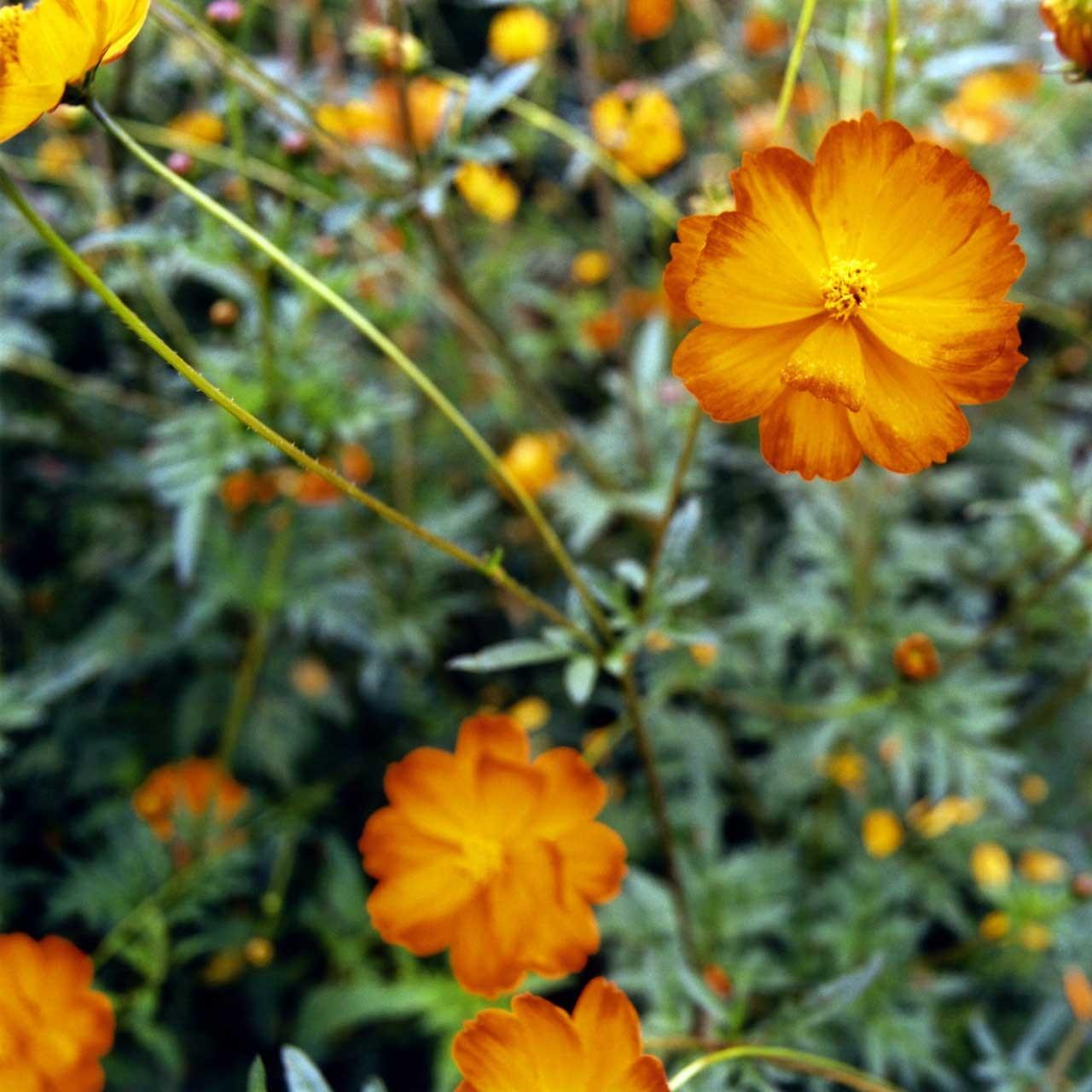 Laure-Maud_photographe_jardin-fleurs_cosmos-2